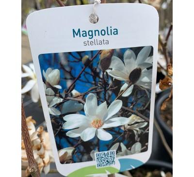 Essential Trees - Magnolia Stella Star