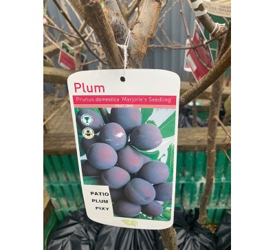 Fruit Tree Plum - Marjorie Seedling