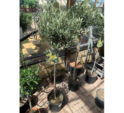 Standard Olive Tree - 3ft