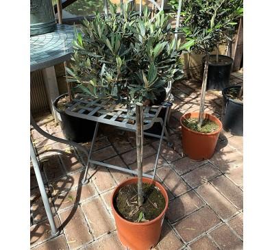 Standard Olive Tree - 2ft