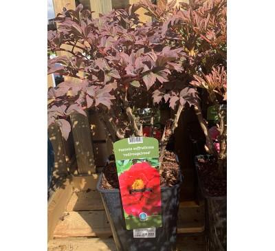 Essential Shrubs Paeonia Suffruticosa Red Rouge