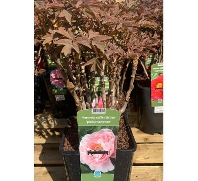 Essential Shrubs Paeonia Suffruticosa Pink Rose