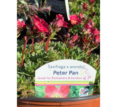 Essential Shrubs - Peter Pan Saxifraga X Arendsii 1 ltr
