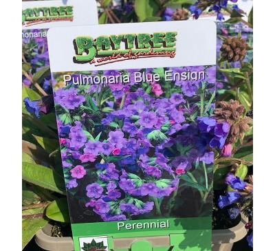 Essential Perennials - Pulmonaria Blue Ensign