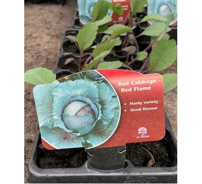 Lockdown Veg Plants Red Cabbage