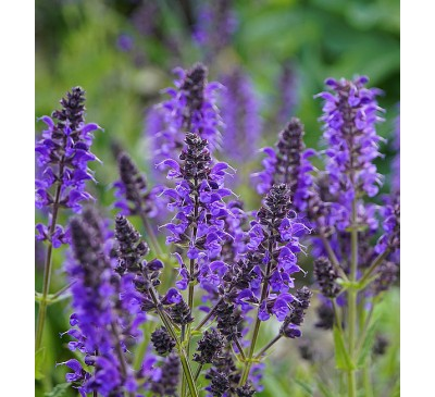 Hardy Perennial Selection 3 for £18