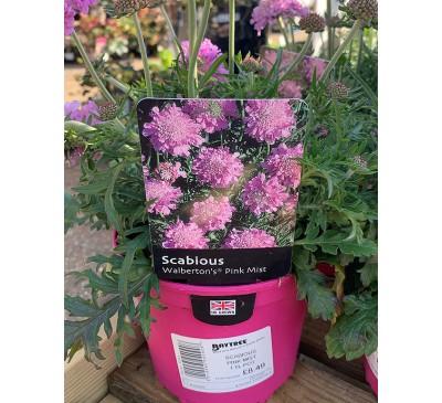 Scabious Walbertons Pink Mist 1.5ltr