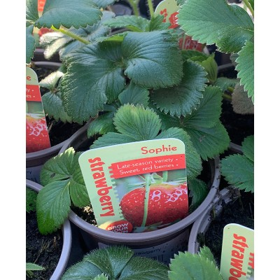 Lockdown Strawberry Plants Sophie