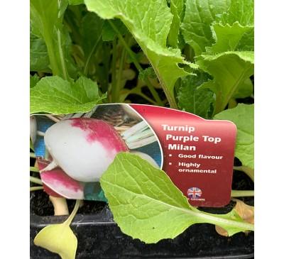 Lockdown Veg Purple Top Turnip
