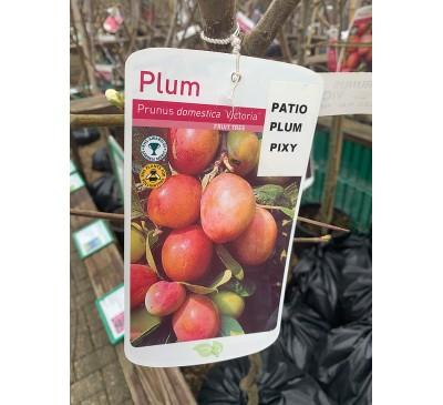 Fruit Tree Plum - Victoria