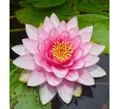 Aquatic Plants - Water Lily