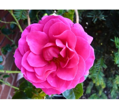 Climbing Rose Starlight Express