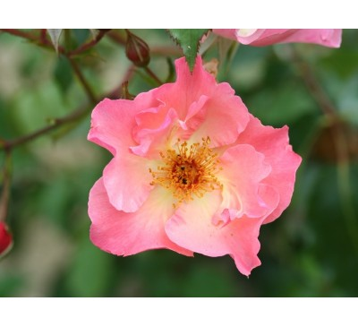 Climbing Rose Summer Wine