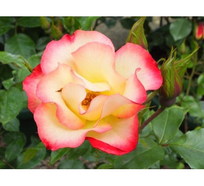 Floribunda Rose Birthday Girl