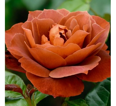 Floribunda Rose Hot Chocolate