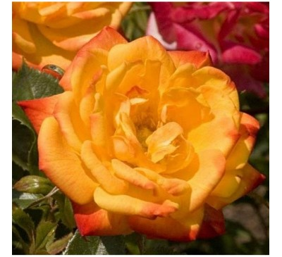 Floribunda Rose Irish Eyes