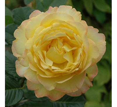 Floribunda Rose Mountbatten
