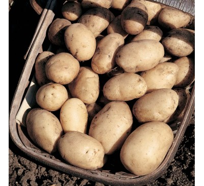 Maris Bard 2 kg Seed Potatoes