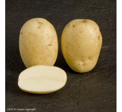 Maris Piper 2 kg Seed Potatoes