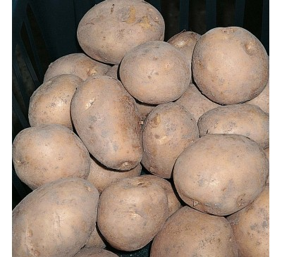 Valor Main 2 kg Seed Potatoes