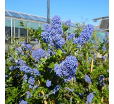 Essential Shrubs - Ceanothus 'Autumnal Blue' Pot