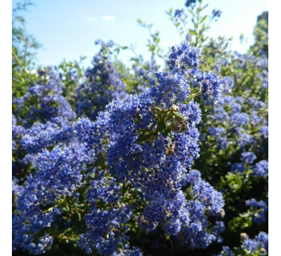 Ceanothus 'Pudget Blue' Pot