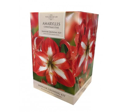 Amaryllis Christmas Star