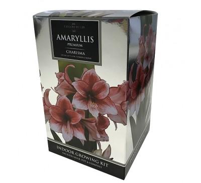 Amaryllis Charisma