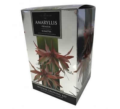 Amaryllis Sumatra