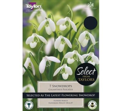 Galanthus Plicatus Selectionection