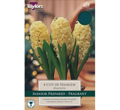 Hyacinth City Of Haarlem Prepared