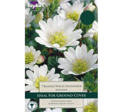 Anemone Blanda White