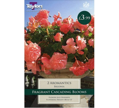 Begonia Aromantics Exotic