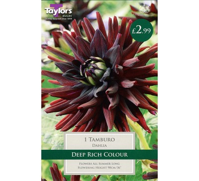 Cactus Dahlia Tamburo