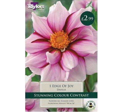 Coll & Anemone Dahlia Edge Of Joy