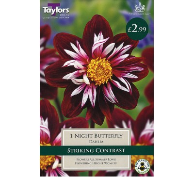 Coll & Anemone Dahlia Night Butterfly