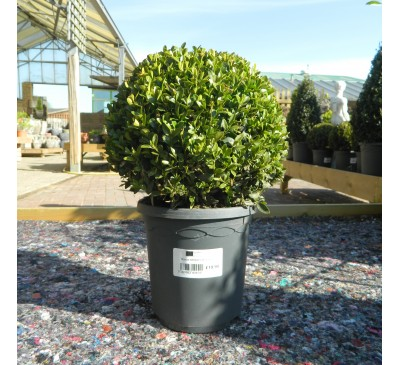 Essential Topiary - Buxus Ball 21cm