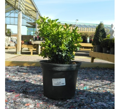 Essential Topiary - Buxus Sempervirens (Untrained)