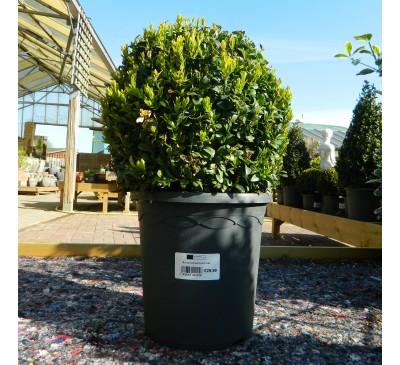 Essential Topiary - Buxus Ball 26cm