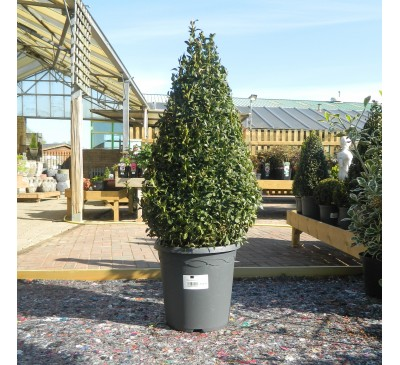Essential Topiary - Buxus Pyramid 26cm
