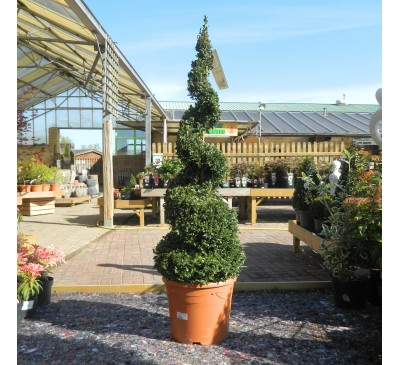 Essential Topiary - Buxus Spiral 70-80cm