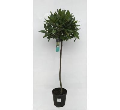 Half Standard Bay Tree - Laurus Nobilis