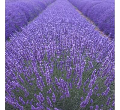 Lavender Munstead 1 litre