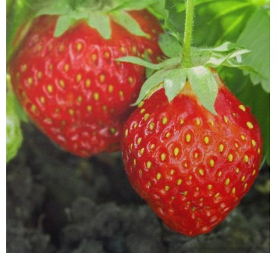 Lockdown Strawberry Plants